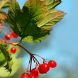 Red viburnum berry — Foto de stock #2760761