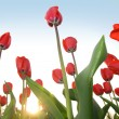 Red tulips - Foto de Stock