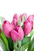 крупным планом розовые тюльпаны, изолированные на белом фоне — Стоковое фото