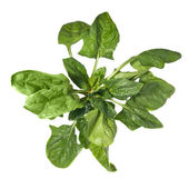 Green spinach — Stock Photo
