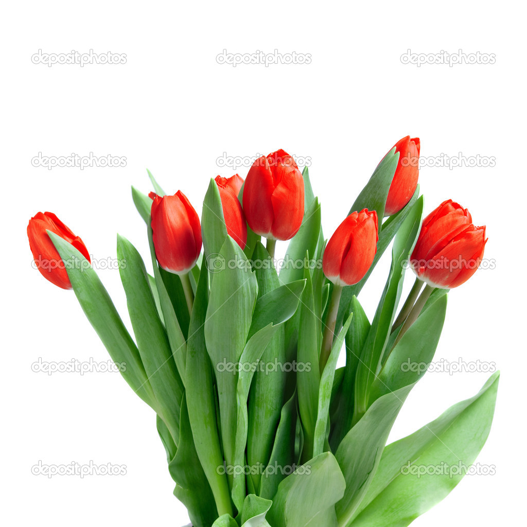 Close-up red tulips isolated on white  Stock Photo #3003493