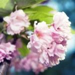 Spring blossom of purple sakura — Stock Photo