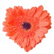 Heart from red daisy-gerbera with water — Stock Photo