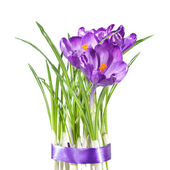 Crocus bouquet isolated on white — Stock Photo