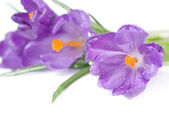Crocus bouquet with water drops isolated on white — Stock Photo