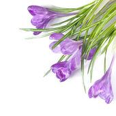 Crocus bouquet — Stock Photo