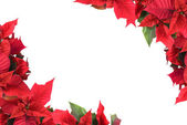 Christmas flower — Stock Photo