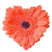 红色雏菊非洲菊用水心 — 图库照片