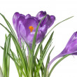 Single crocus isolated on white — Stockfoto