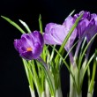 Crocus bouquet isolated on black — Stock Photo