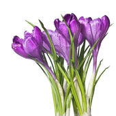 Single crocus isolated on white — Stock Photo