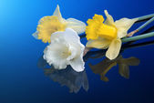 White and yellow narcissus — Stock Photo