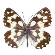 papillon isolé sur blanc — Photo
