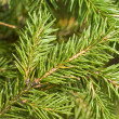 Stock Photo: Branch of green christmas tree