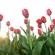 Royalty-Free Stock Photo: Red tulips against sunset