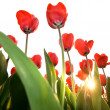 Red tulips — Stock fotografie