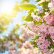 Spring blossom of purple sakura against blue sky — Stock Photo