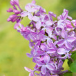 Spring lilac flowers with leaves — Photo