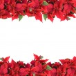 Christmas frame from poinsettias — Stock Photo #3379870