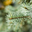 Branch of green christmas tree - Stock Photo