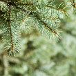 Branch of green christmas tree — Stock Photo