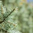 Branch of green christmas tree — Stock Photo #3379903