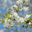Spring blossom of apple tree against blue sky — Stock Photo