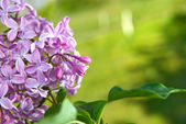 Spring lilac flowers with leaves — Stockfoto