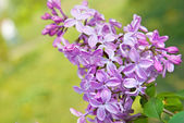 Spring lilac flowers with leaves — Stock Photo