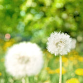 Dandelions on green nature background — Stock Photo