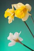 Żółty i biały Narcyz — Zdjęcie stockowe