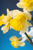 Yellow and white narcissus — Stock Photo