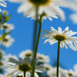 White chamomiles against blue sky — Stock Photo