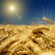 Gold wheat and blue sky with sun - Stock Photo