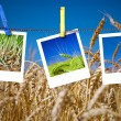 Photos of wheat hang on rope with pins. Seasonal growth concept — Stock Photo