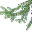Branch of christmas fir tree — Stock Photo