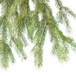 Branch of christmas fir tree — Foto de Stock