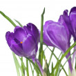 Crocus bouquet — Stock fotografie