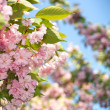 Spring blossom of purple sakura against blue sky — Stock Photo #3381470