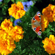 Stock Photo: Butterfly on yellow flowers