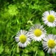 White chamomiles with green grass — Stock Photo #3384188