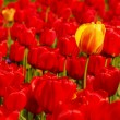 Single yellow tulip in field of red — Stock Photo #3384192