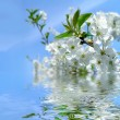 Blooming cherry tree and blue sky with refletion in water — Stock Photo