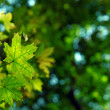 Green autumn leaves — Stock Photo
