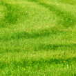Green grass background with stripes - Stock Photo