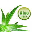 Close-up photo of green aloe vera with icon isolated on white — Stock Photo