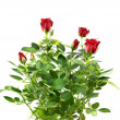 Red rose bouquet isolated on white — Stock Photo