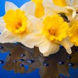 Yellow narcissus on blue background with water drops — Photo