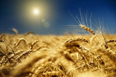 Gold wheat and blue sky with sun — Стоковое фото