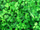 Background of green clover — 图库照片
